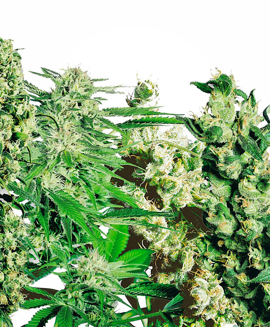 Sativa Mix Feminizada (5 Unidades) WHITE LABEL