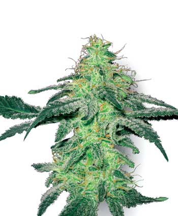 White Skunk Feminizada (5 Unidades) WHITE LABEL