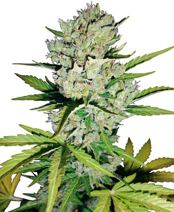 Super Skunk Auto Auto Florecientes (5 Unidades) WHITE LABEL