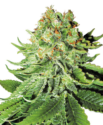 Northern Light Auto Auto Florecientes (5 Unidades) SENSI SEEDS
