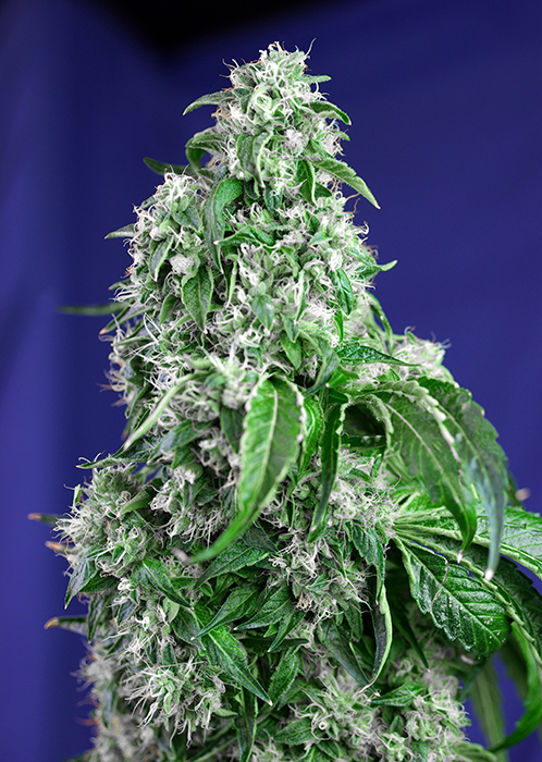 Big Devil Fast Version Feminizada (3 Unidades) SWEET SEEDS