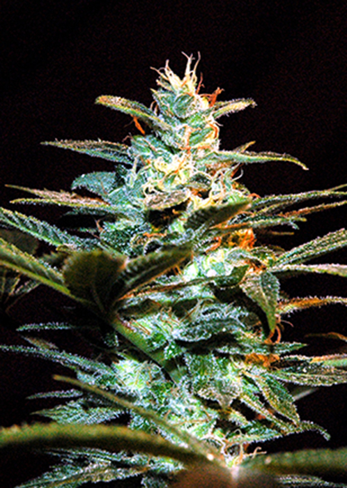 Ice Cool  Feminizada (3 Unidades) SWEET SEEDS