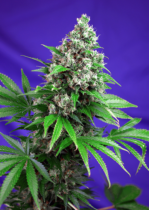 Killer Kush Fast Version Feminizada (3 Unidades) SWEET SEEDS