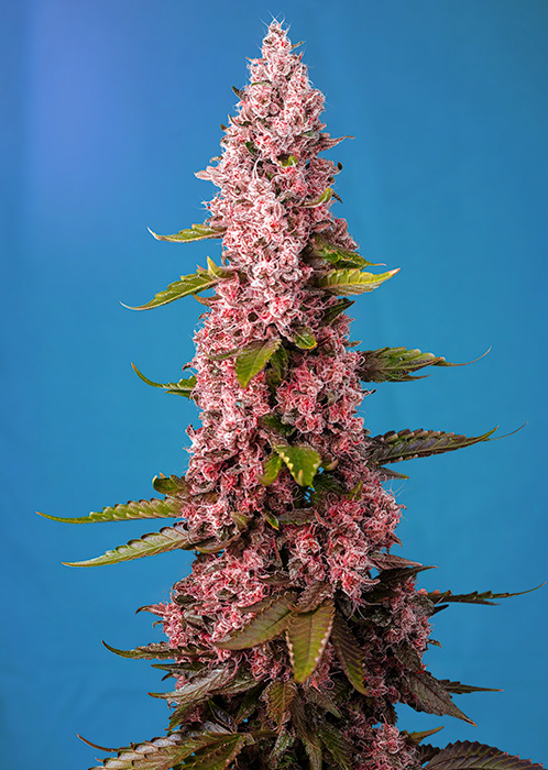 Red Hot Cookies  Feminizada (3 Unidades) SWEET SEEDS