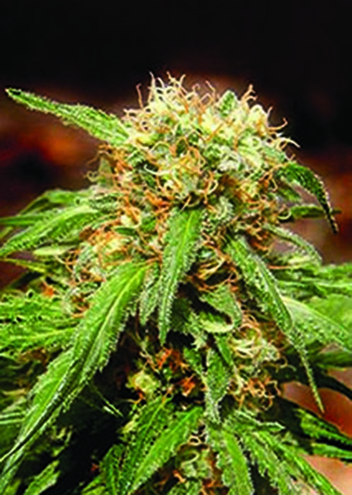 Sweet Thai Feminizada (3 Unidades) SWEET SEEDS