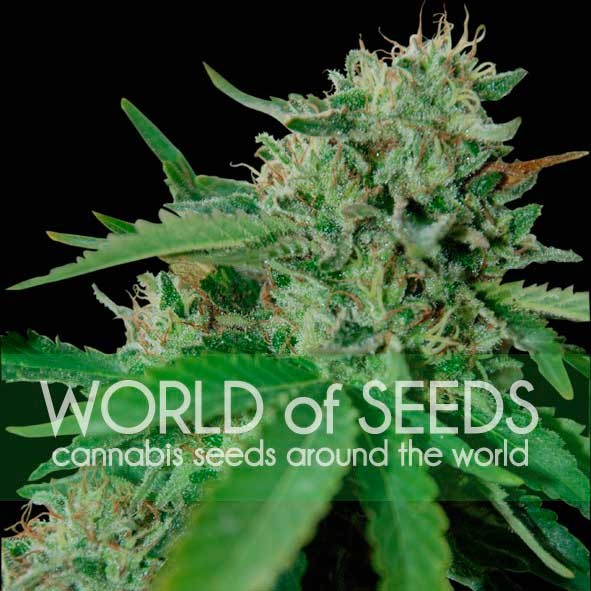 Brazil Amazonia Feminizada (3 Unidades) WORLD OF SEEDS