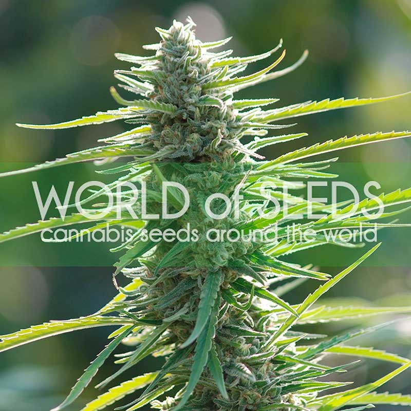 Colombian Gold Feminizada (3 Unidades) WORLD OF SEEDS