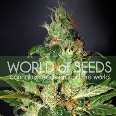 Chronic Haze Feminizada (3 Unidades) WORLD OF SEEDS