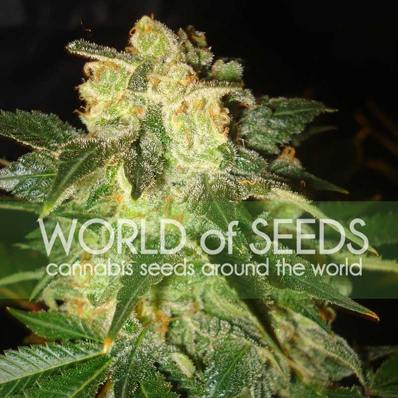 Pakistan Ryder Auto Auto Florecientes (3 Unidades) WORLD OF SEEDS
