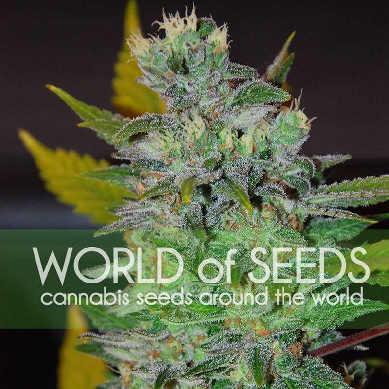 Space Feminizada (3 Unidades) WORLD OF SEEDS
