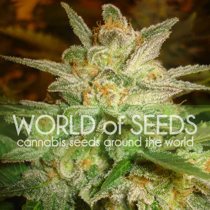 Star 47 Feminizada (3 Unidades) WORLD OF SEEDS