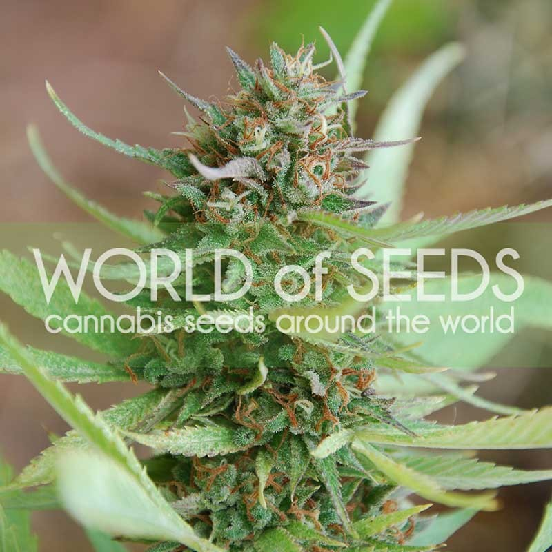 Strawberry Blue Feminizada (3 Unidades) WORLD OF SEEDS