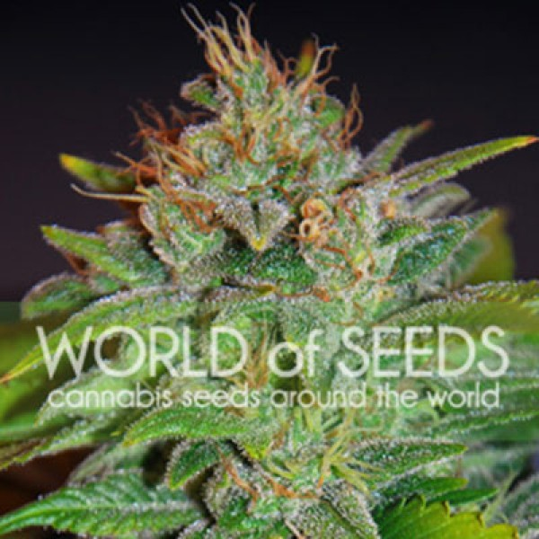 Skunk 47 Feminizada (3 Unidades) WORLD OF SEEDS